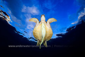 flying-underwater-sea-turtle