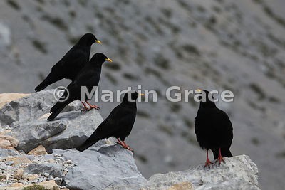 Four Alpine or Yellow-Billed Choughs (Pyrrhocorax graculus), Picos de Europa, Cantabria, Spain