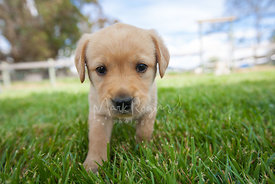 Young Yellow Labrador Puppy on Green Lawn