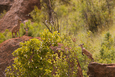 Antilopes_Klipspringer_(3)_-_Copy