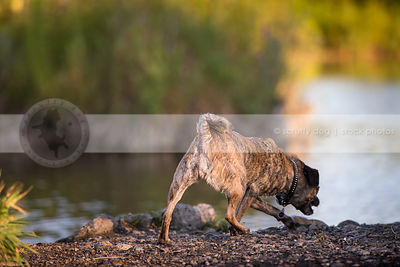 brindle puggle dog from behind walking on river bank to water