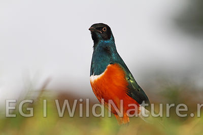 Superb starling/Praktstær - Ethiopia