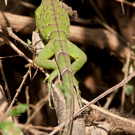 Green Iguana wildlife photos