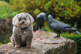 Grey Poodle Mix Dog Sitting Near Bird Statues