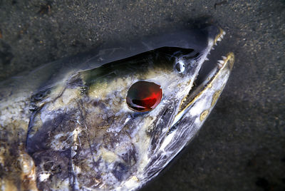 Close-up of a spawned salmon with its eye eaten and the socket full of blood. Saloompt River, Great Bear Rainforest, British Columbia