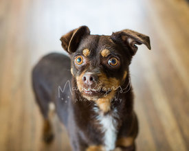 Close-up of Small Chihuahua Mix with Crooked Teeth