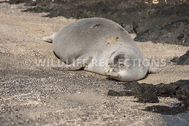 hawaiian_monk_seal_big_island_02062015-87