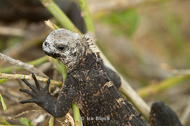 A marine iguana climbs his way to a sunny spot on North Seymour Island.