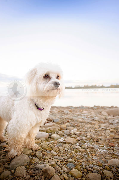 little white havanese standing on stony beach