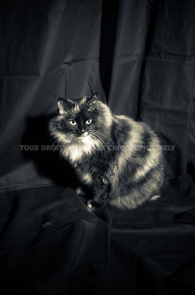 portrait chat noir et blanc studio photo