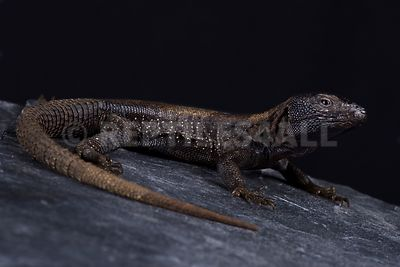 Dark Whorltail Iguana (Stenocercus melanopygus) photos