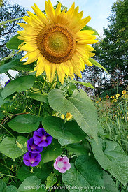 The Glorious Sunflower