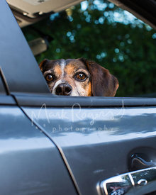 Beagle Peering over a Car Window Edge