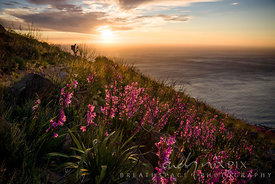 Pink watsonias on the slopes of Lion's Head bathed in golden glow at sunset
