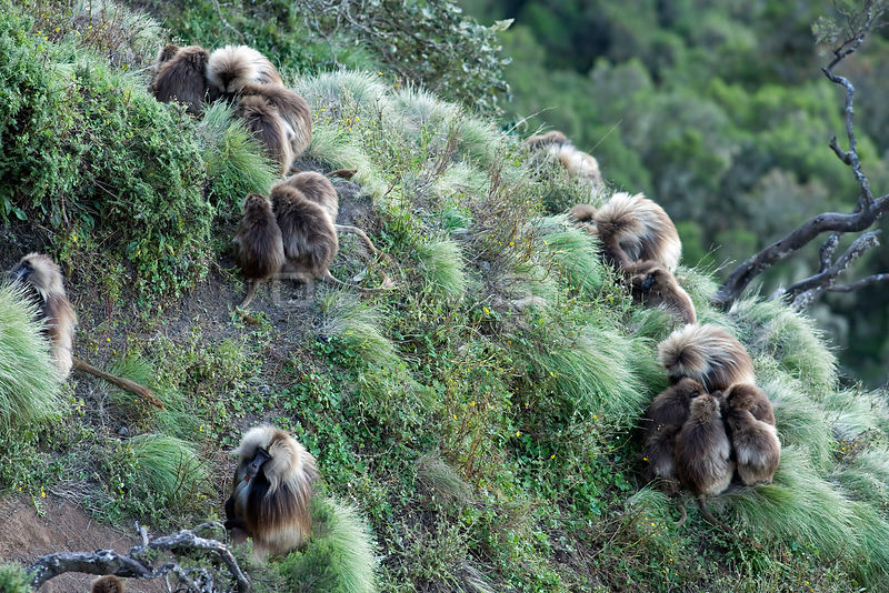 Gelada baboons (Theropithecus gelada) huddled together on sleeping ledge, Simien Mountains National Park, Ethiopia, November