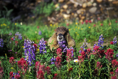 An Olympic Marmot eating lupine and paintbrush in Paradise Meadows, Mount Rainier NP, Washington.