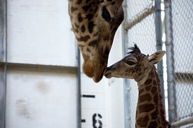 Masai Giraffe Calf Born at Virginia Zoo in Norfolk