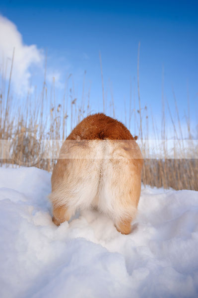 cute corgi dog bum from behind in winter snow under sky