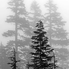 CONIFERS IN THE CLOUDS