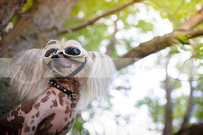 closeup of chinese crested freckled dog wearing doggles