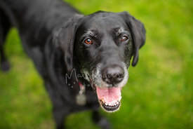 Happy Senior Black Lab with Brown Eyes and Smile