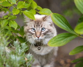 Cross-eyed grey cat with blue eyes standing behind leaves