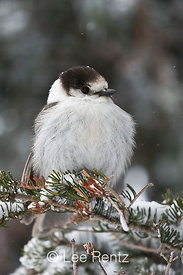 Gray Jay (Perisoreus canadensis) perched on a branch during a snowstorm on Hurricane Ridge, Olympic National Park, Olympic Peninsula, Washington, USA, March, 2009_WA_8131