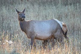 Female Elk Listening to Bugling Male