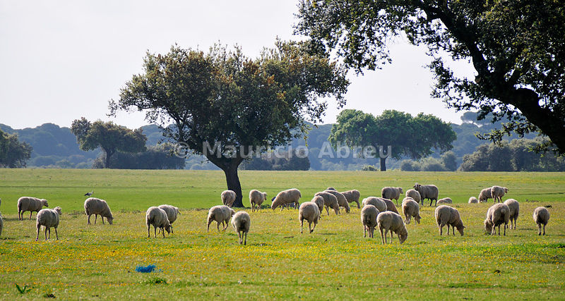 Holm oaks and a flock of sheep in Alentejo, Portugal