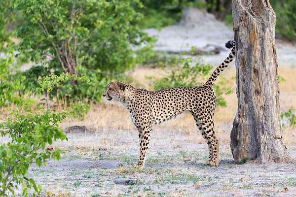 Male Cheetah Scent Marking on a Tree