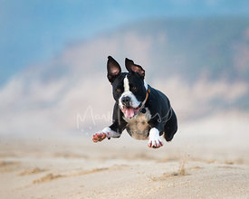 Black and White Pitfall Leaping Through Air On Beach