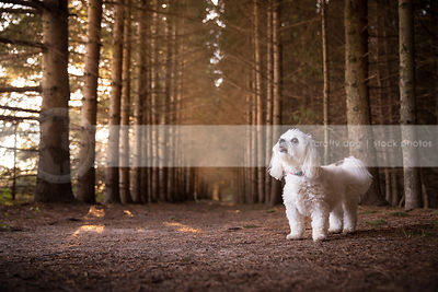 pretty little white dog looking skyward standing in pine forest
