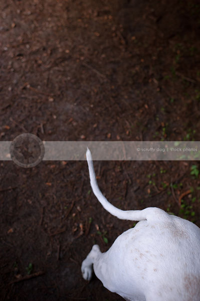 creative overhead stock photograph of hound dog rear and tail