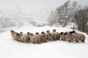 Swaledale sheep in a snowstorm.