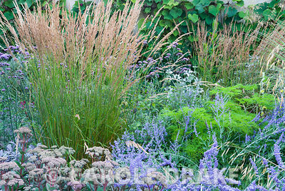 Upright stems of Calamagrostis x acutiflora 'Karl Foerster' surrounded by Sedum telephium 'Matrona', Pervoskia 'Blue Spire', and vivid green Selinum wallichianum backed by Vitis cognetiae. Broughton Buildings, Broughton, nr Stockbridge, Hants, UK