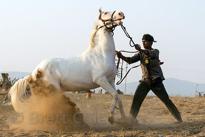 A man tames his horse at the Pushkar Camel Fair, Pushkar, Rajasthan, India