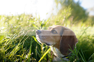 headshot of pretty beagle dog looking skyward in backlit grasses