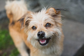 Smiling little brown dog looking happily toward camera