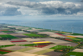 Flowering tulip fields in the North-East polder in the center of the Netherlands with the background of the 'Westermeerwind' windmill park