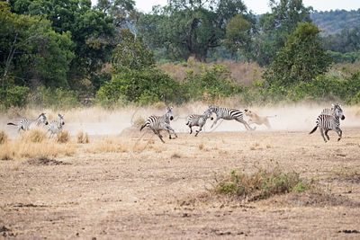 Lioness Chasing Pack of Zebra in Africa