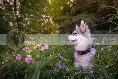 profile of silver and cream dog sitting in meadow in summer