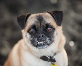 Pug With Underbite and Brown Eyes Close-Up