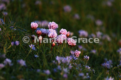 Thrift (Armeria maritima ssp maritima) illuminated by a shaft of late evening sunlight, in a carpet of Spring Squill (Scilla verna), Sumburgh Head, Mainland South, Shetland