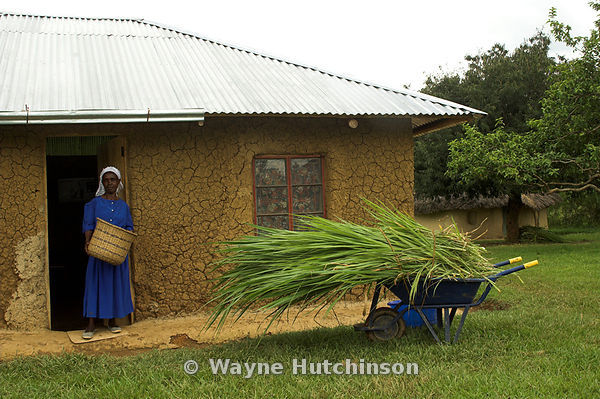 African woman wearing blue dress stood outside new hut with wheelbarrow of cut crop in front Kenya Africa