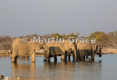Herd of African Elephants (Loxodonta africana) standing in water to drink and bathe, Etosha National Park, Namibia