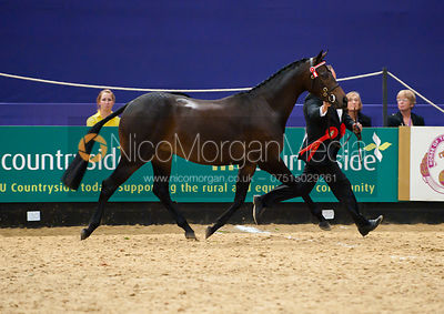 HOYS Cuddy Supreme In Hand photos