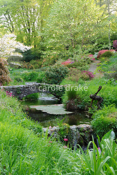 Prunus 'Shogetsu' and the handkerchief tree, Davidia involucrata, above vivid mounds of azaleas and rhododendrons beside the Addicombe Brook that runs down from Dartmoor and through the garden. Lukesland, Harford, Ivybridge, Devon, UK