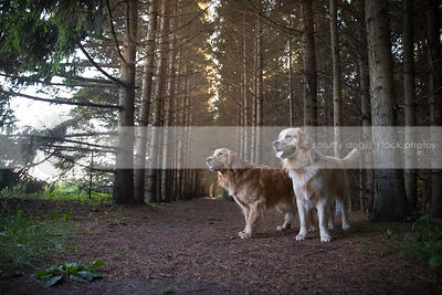 two retriever dogs standing together in pine tree forest