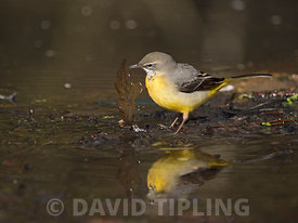 Grey Wagtail Motacilla cinerea winter male turning over leaves to find food on edge of woodland pool North Norfolk February