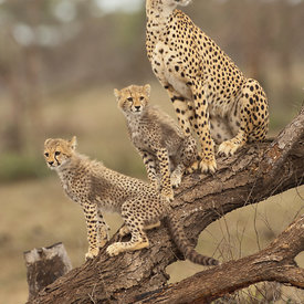 Cheetah wildlife photos